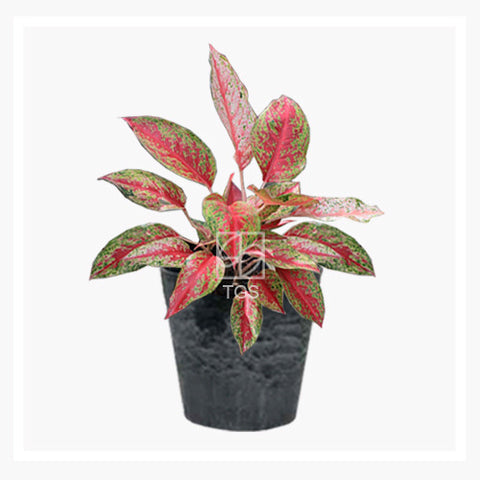 Aglaonema hybrid - Therapeutic Garden Sanctuary