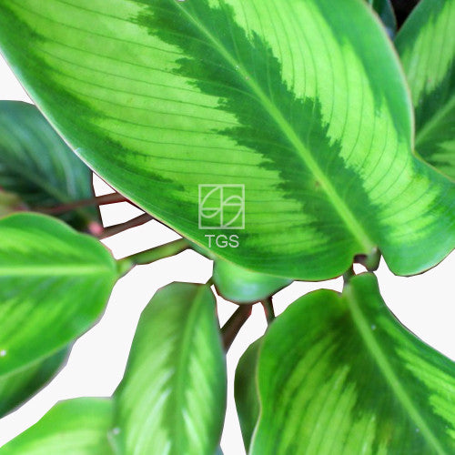 Calathea 'Beauty Star' - Therapeutic Garden Sanctuary