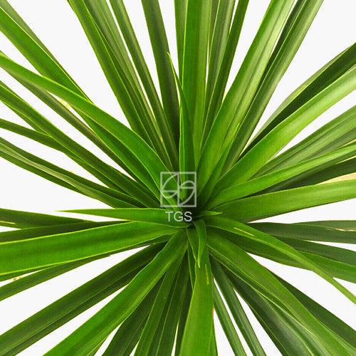 Dracaena draco - Therapeutic Garden Sanctuary