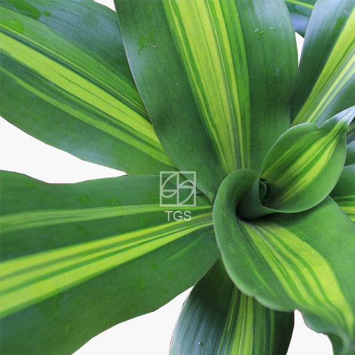 Dracaena fragrans - Therapeutic Garden Sanctuary