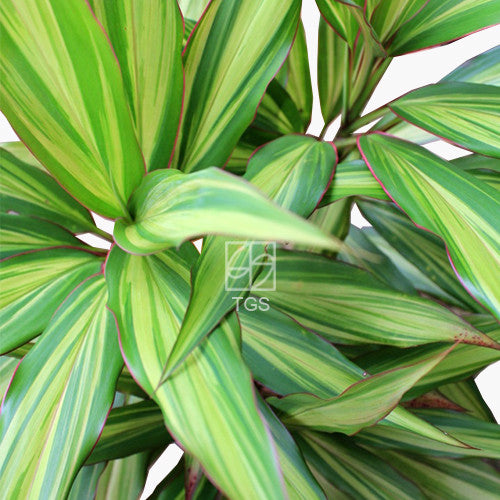 Cordyline fruticosa cultivars - Therapeutic Garden Sanctuary