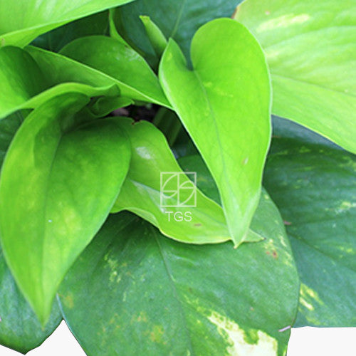 Epipremnum aureum in Hyrdo-Green White - Therapeutic Garden Sanctuary