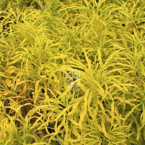 Euodia ridleyi 'Golden Green' - Therapeutic Garden Sanctuary