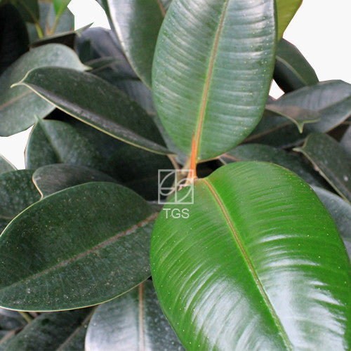 Ficus elastica in Hydro-Green Black - Therapeutic Garden Sanctuary