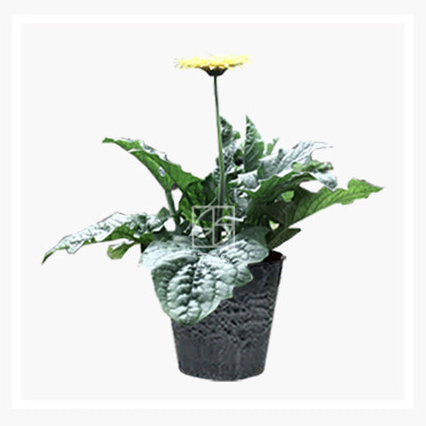 Gerbera jamesonii - Therapeutic Garden Sanctuary