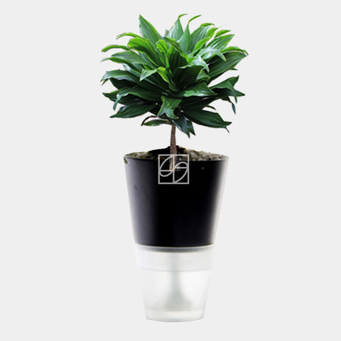Dracaena compacta in Hydro-Green Black - Therapeutic Garden Sanctuary