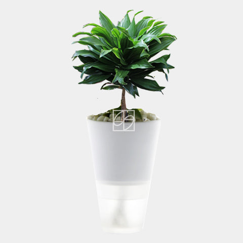 Dracaena compacta in Hydro-Green White - Therapeutic Garden Sanctuary