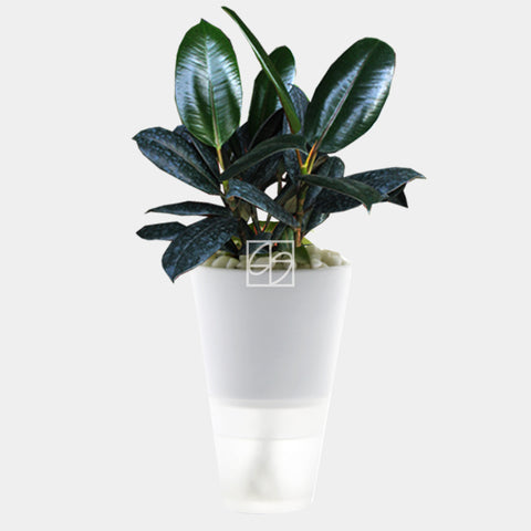 Ficus elastica in Hydro-Green White - Therapeutic Garden Sanctuary