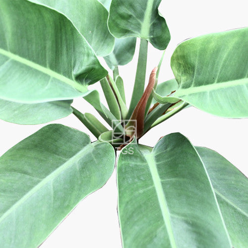 Philodendron imperial green - Therapeutic Garden Sanctuary