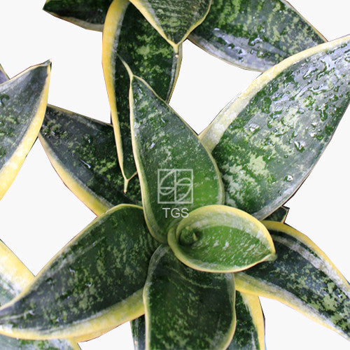 Sansevieria trifasciata 'Golden Hanii' in Hydro-Green Black - Therapeutic Garden Sanctuary