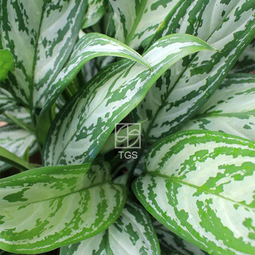 Aglaonema nitidum 'Silver Queen' - Therapeutic Garden Sanctuary