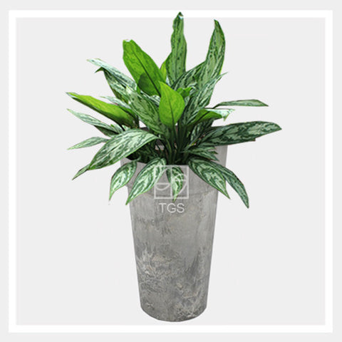 Aglaonema nitidium 'Silver Queen' in vase 26x45 grey - Therapeutic Garden Sanctuary