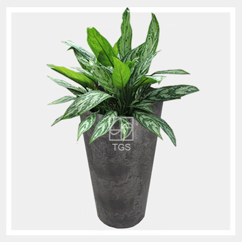 aglaonema nitidium 'silver queen' in vase 28x49 black - Therapeutic Garden Sanctuary