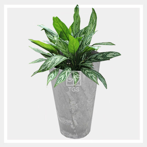 aglaonema nitidium 'silver queen' in vase 28x49 grey - Therapeutic Garden Sanctuary