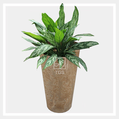 aglaonema nitidium 'silver queen' in vase 28x49 taupe - Therapeutic Garden Sanctuary