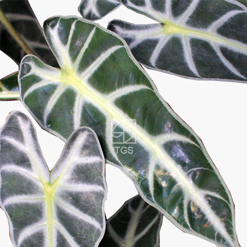 Alocasia amazonica in Hydro-Green Black - Therapeutic Garden Sanctuary