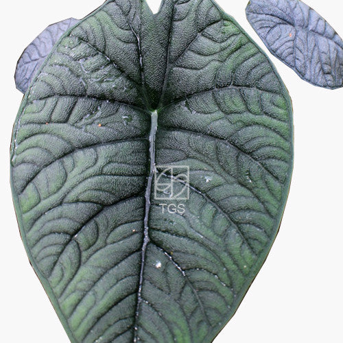 Alocasia maharani - Therapeutic Garden Sanctuary