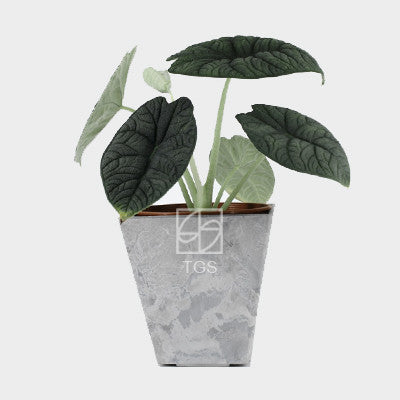 Alocasia maharani in 15x15 pot Grey square - Therapeutic Garden Sanctuary