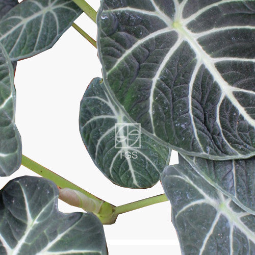 Alocasia reginula 'Black Velvet' in Hydro-Green Black - Therapeutic Garden Sanctuary