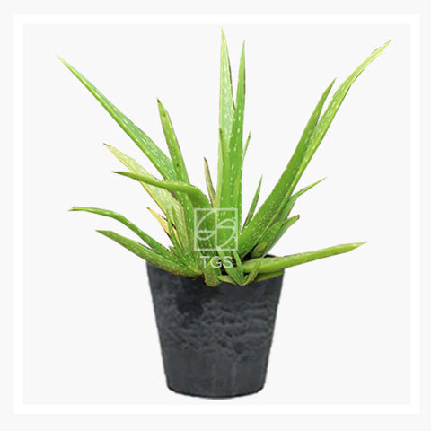 Aloe vera - Therapeutic Garden Sanctuary