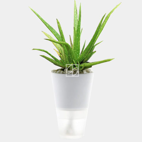Aloe vera in Hydrogreen White - Therapeutic Garden Sanctuary