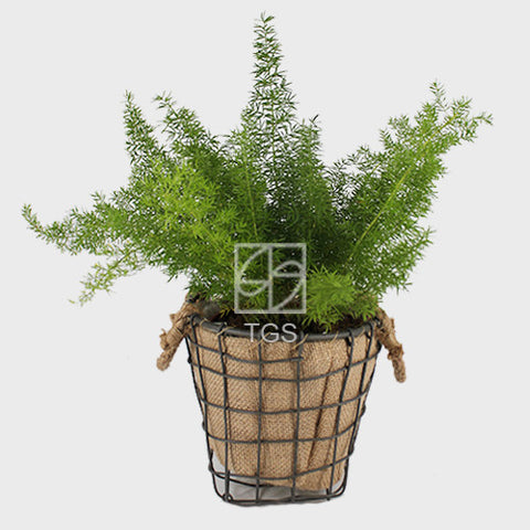 asparagus densiflorus in Handmade 17x17 European Burlap basket - Therapeutic Garden Sanctuary