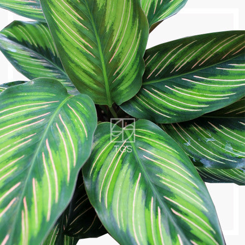 Calathea Beauty Star 2 Therapeutic Garden Sanctuary