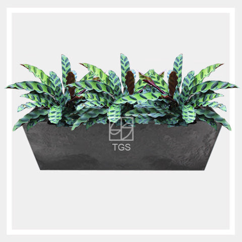 calathea insignis in balcony 55x17x17 black - Therapeutic Garden Sanctuary