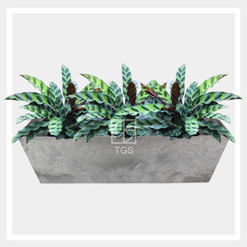 calathea insignis in balcony 55x17x17 grey - Therapeutic Garden Sanctuary