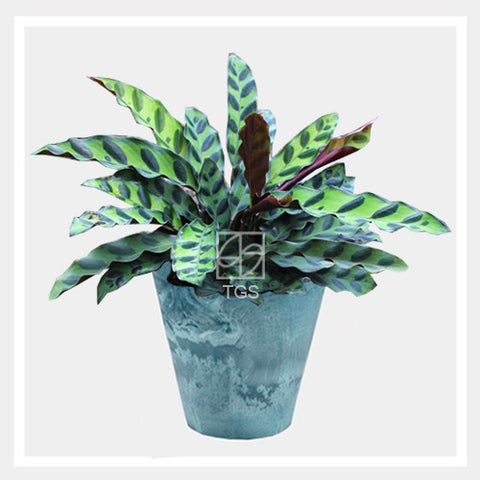 calathea insignis in tabletop 17x15 aqua - Therapeutic Garden Sanctuary