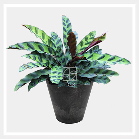 calathea insignis in tabletop 17x15 black - Therapeutic Garden Sanctuary