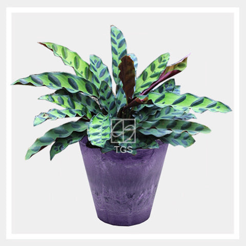 calathea insignis in tabletop 17x15 grape - Therapeutic Garden Sanctuary