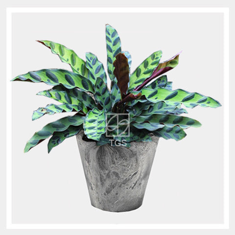 calathea insignis in tabletop 17x15 grey - Therapeutic Garden Sanctuary