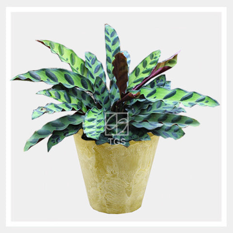 calathea insignis in tabletop 17x15 lemon - Therapeutic Garden Sanctuary