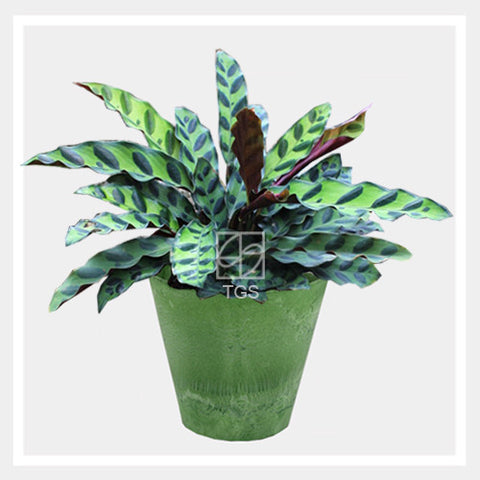 calathea insignis in tabletop 17x15 lime - Therapeutic Garden Sanctuary