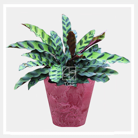 calathea insignis in tabletop 17x15 pink - Therapeutic Garden Sanctuary