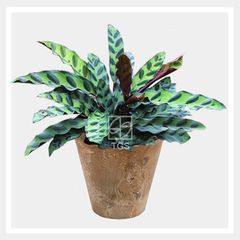 calathea insignis in tabletop 17x15 taupe - Therapeutic Garden Sanctuary