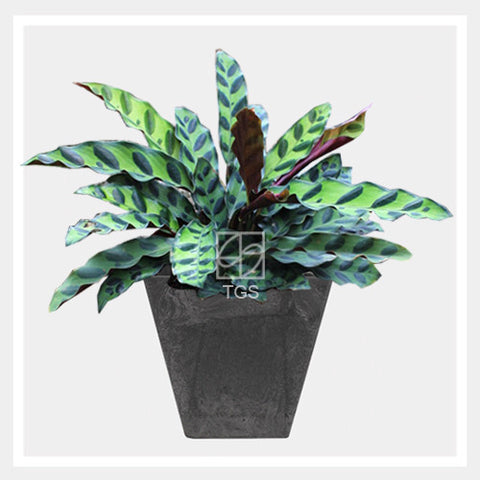 calathea insignis in tabletop square 15x15 black - Therapeutic Garden Sanctuary