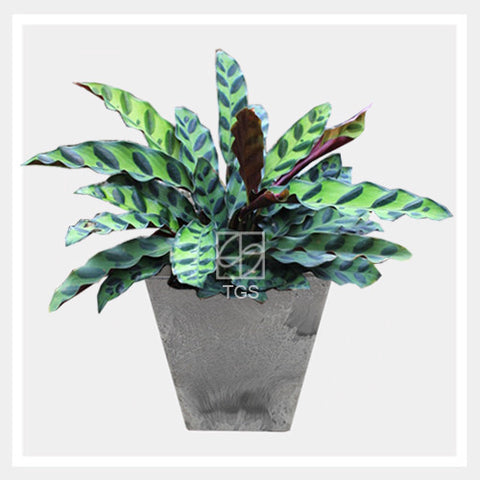 calathea insignis in tabletop square 15x15 grey - Therapeutic Garden Sanctuary