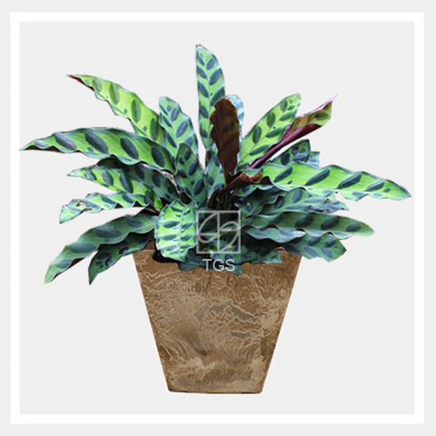 calathea insignis in tabletop square 15x15 taupe - Therapeutic Garden Sanctuary