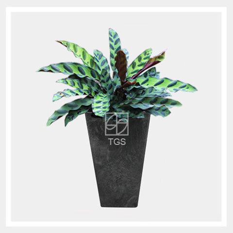calathea insignis in vase 14x26 black - Therapeutic Garden Sanctuary