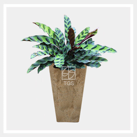 calathea insignis in vase 14x26 taupe - Therapeutic Garden Sanctuary