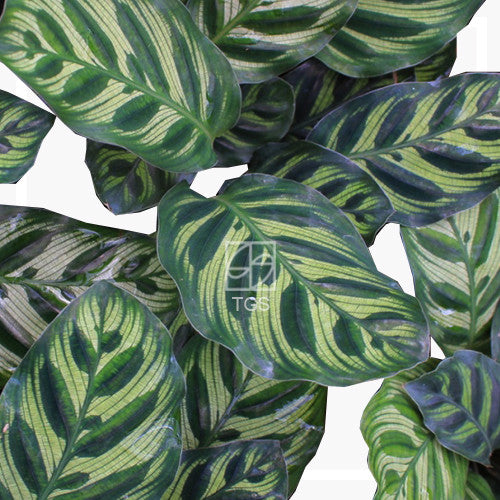 Calathea makoyana - Therapeutic Garden Sanctuary