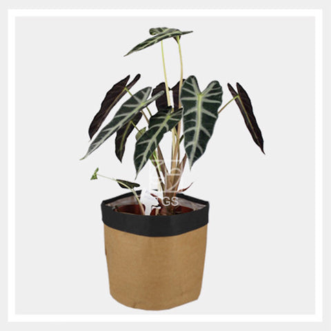 alocasia amazonica in savana black 18x16 - Therapeutic Garden Sanctuary