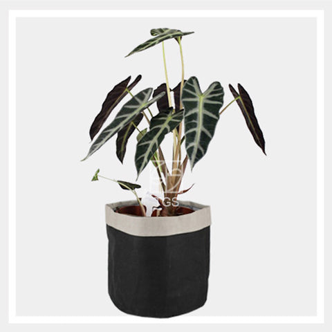 Alocasia amazonica in sand black 18x16 - Therapeutic Garden Sanctuary
