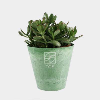 crassula ovata in 17x15 pot Lime - Therapeutic Garden Sanctuary