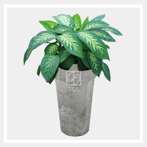 dieffenbachia 'tropic snow' in vase 26x45 grey - Therapeutic Garden Sanctuary