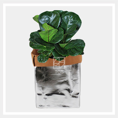 ficus lyrata in silver brown 16x16x30 - Therapeutic Garden Sanctuary