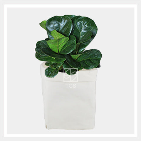 ficus lyrata in white 16x16x30 - Therapeutic Garden Sanctuary