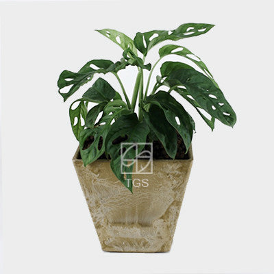 monstera oblique in 15x15 pot taupe square - Therapeutic Garden Sanctuary